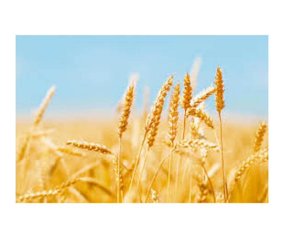 trigo, glúten, trigo e glúten, intolerância ao glúten,